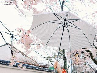 桜に傘の写真・画像素材[878475]