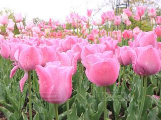 ピンクのチューリップの写真・画像素材[1055417]
