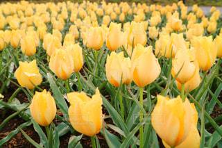 黄色のチューリップの写真・画像素材[1055451]