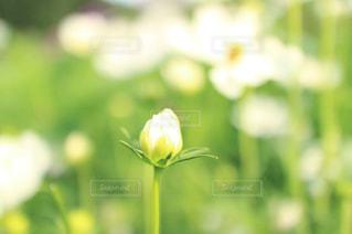 花の蕾の写真・画像素材[1059143]