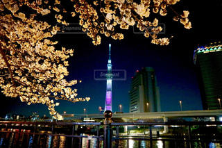 夜桜とスカイツリーの写真・画像素材[1092232]