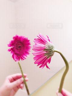 ピンクのガーベラの写真・画像素材[1614980]