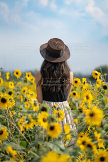 向日葵の写真・画像素材[4277694]
