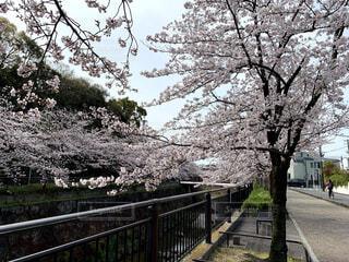 満開の桜並木の写真・画像素材[4285866]