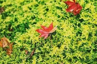 紅葉と苔の庭の写真・画像素材[4298007]