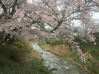 桜と川の写真・画像素材[4321742]