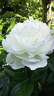 白い芍薬の花の写真・画像素材[4400480]
