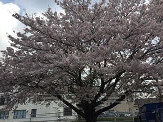 桜の木の写真・画像素材[4341777]