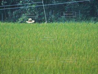 新緑の稲穂の写真・画像素材[4324138]