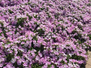 あしかがフラワーパークの花の写真・画像素材[2087198]