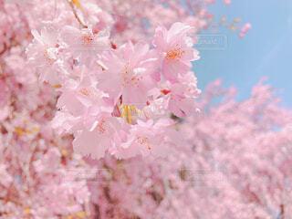 桜の写真・画像素材[4372256]