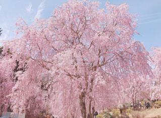 桜の写真・画像素材[4372264]