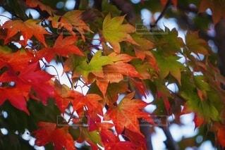 紅葉の写真・画像素材[4887511]