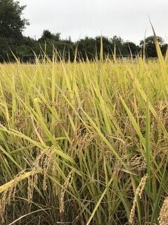 収穫前ですの写真・画像素材[4320405]