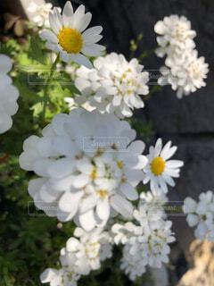 2種類の白い花の写真・画像素材[4316611]