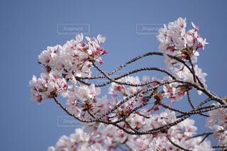 うねった枝のさくらの写真・画像素材[4326719]