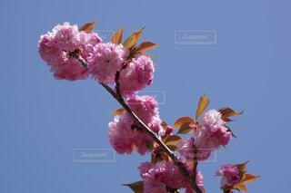 晴天に八重桜の写真・画像素材[4329098]