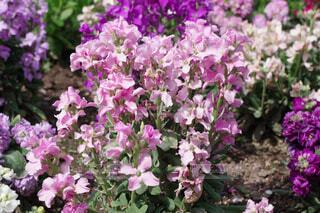 ピンクと紫の花の写真・画像素材[4329244]