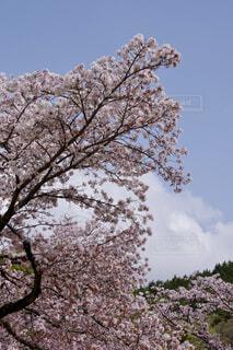 満開桜の写真・画像素材[4332384]