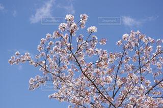 青空とサクラの写真・画像素材[4332478]