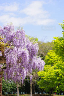 青空と緑と藤の花の写真・画像素材[4337236]