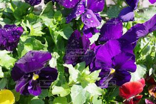 紫のパンジーの写真・画像素材[4344882]