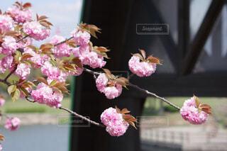 ピンクの可愛いさくらの写真・画像素材[4344909]