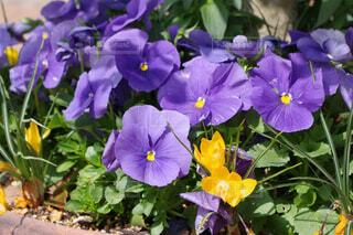紫のパンジーの写真・画像素材[4347470]