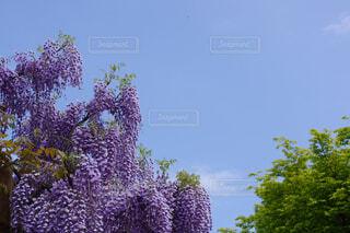 青空と藤の花の写真・画像素材[4347565]