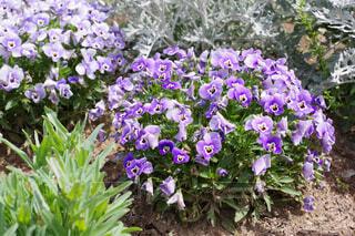 紫のビオラの写真・画像素材[4354863]