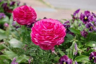 圧倒的な存在感な花の写真・画像素材[4357002]