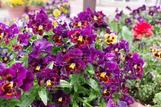 気品のある赤紫のパンジーの写真・画像素材[4357007]