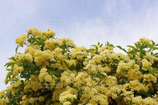 青空とモッコウバラの写真・画像素材[4371281]