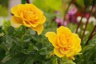 黄色いバラの写真・画像素材[4376722]