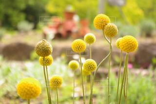 丸い可愛い花の写真・画像素材[4379475]