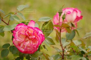 2色のバラの写真・画像素材[4379510]
