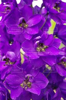 紫色の鮮やかな花の写真・画像素材[4379524]