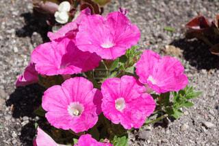 ピンクのペチュニアの写真・画像素材[4388534]
