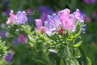ピンクと紫の花びらの写真・画像素材[4397358]