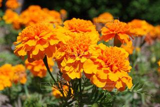 鮮やかなオレンジの写真・画像素材[4397361]