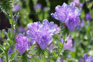 紫のフレアスカートのような花の写真・画像素材[4403370]