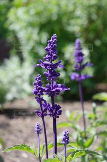 紫のサルビアの写真・画像素材[4403376]