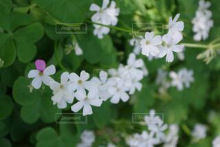 白色の可愛い花の写真・画像素材[4403381]
