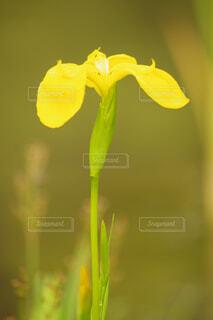 黄色の菖蒲の写真・画像素材[4412696]