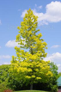 空に向かって伸びる新緑の木の写真・画像素材[4434021]