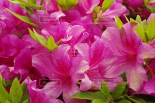 ピンク一色のツツジの写真・画像素材[4444743]