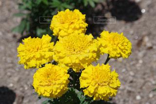 六輪咲きのマリーゴールドの写真・画像素材[4444745]
