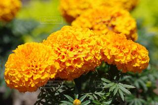 鮮やかなオレンジの写真・画像素材[4444749]