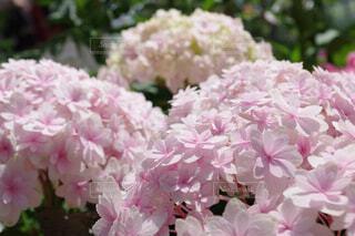 淡いピンク色てまりてまりと言う紫陽花の写真・画像素材[4466367]