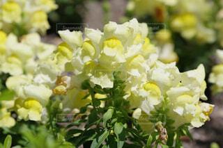 黄色の金魚草の写真・画像素材[4506612]